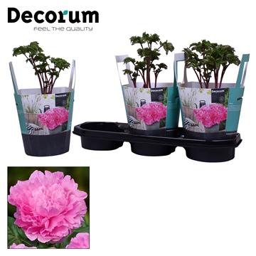 Paeonia 19CM roze Decorum