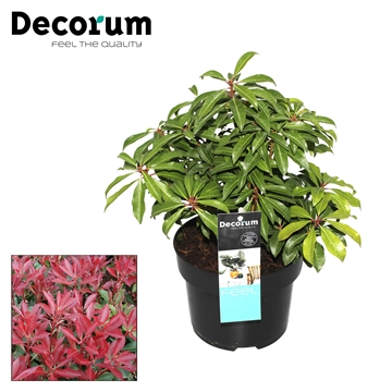 Pieris j. Mountain Fier Decorum P17