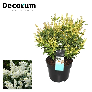 Pieris j. Sarabande Decorum P17