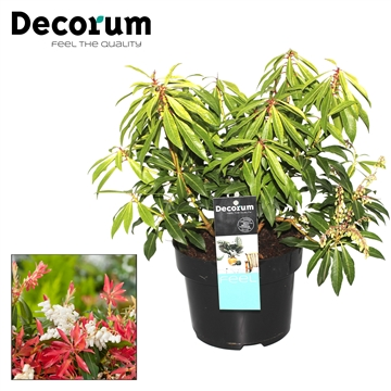 Pieris Forest Flame Decorum P17