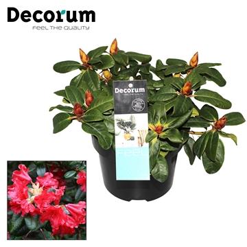 Rhododendron Scarlet Wonder Decorum P17