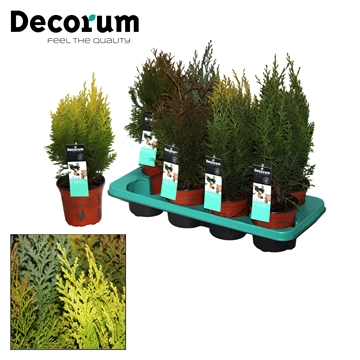 Coniferen Mix Decorum P14
