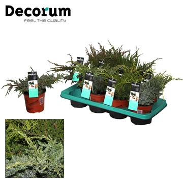 Juniperus Mix Decorum P14