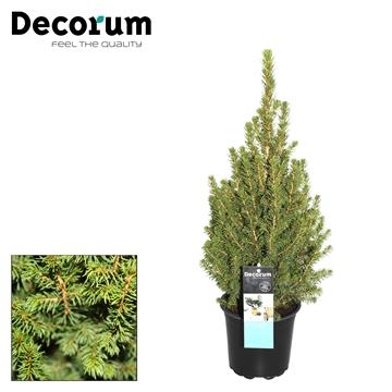 Picea Perfecta Decorum P15
