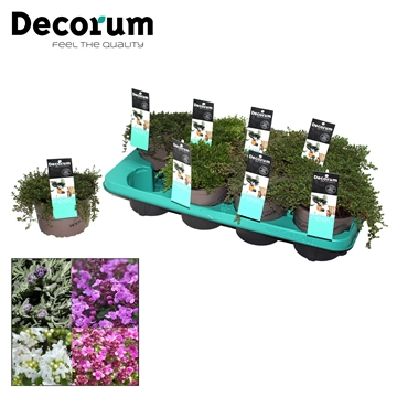 Thymus Mix Decorum P14
