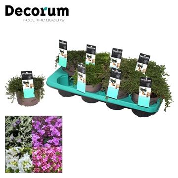 Thymus Mix Decorum P14