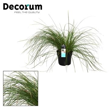 Carex Kyoto Decorum P17