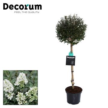 Ligustrum Delavayanum Stam Decorum C5