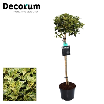 Osmanthus het. Goshiki Decorum C5