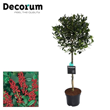 Ilex JC van Tol Stam Decorum C7,5