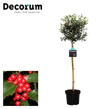 Ilex Blue Princess Decorum C7,5