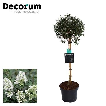 Ligustrum Delavayanum Stam Decorum C7,5