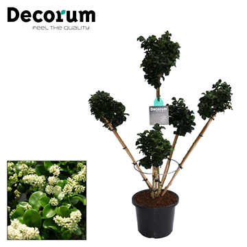 Ligustrum Jap. Rotundifolium 5 tak Decorum C12