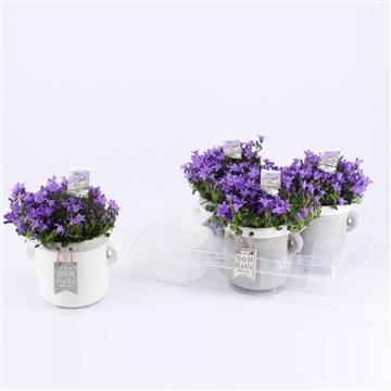Campanula Ambella Purple Bon Heur 12 cm
