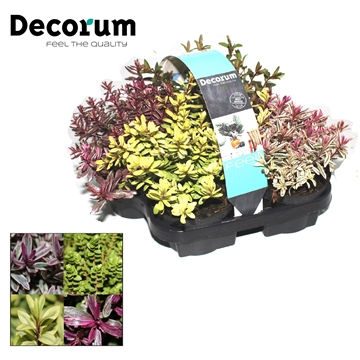Hebe Megicolor 4-pack Decorum P10,5