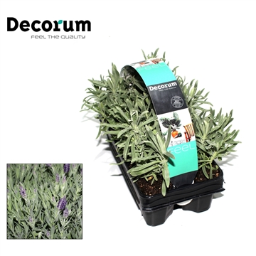 Lavandula Angustifolia 6-pack Decorum P9