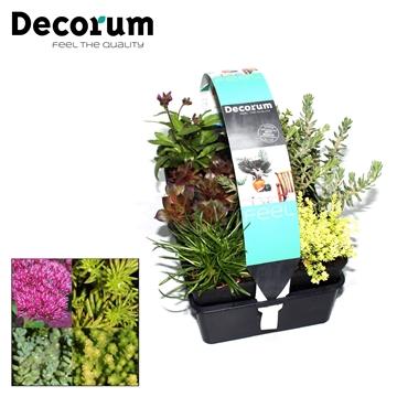 Rotsplanten 6-pack Decorum P7