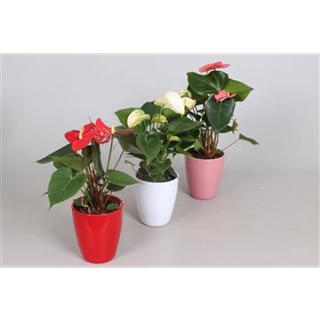 Anthurium ''XL-Flowers'' Ton sur Ton in MINI keramiek