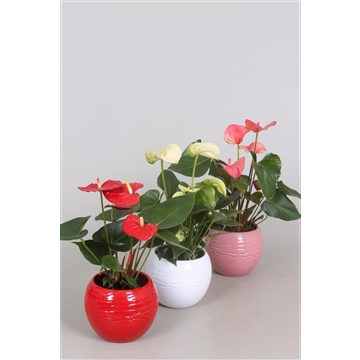 Anthurium 'XL-Flowers'' Ton sur Ton in bolpot