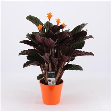 Calathea Crocata Candela 3/4 in oranje keramiek DECORUM