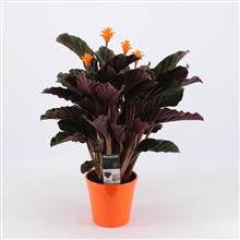 Calathea Crocata Candela 3/4 bloem in oranje pot