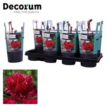 Paeonia 13CM rood Decorum