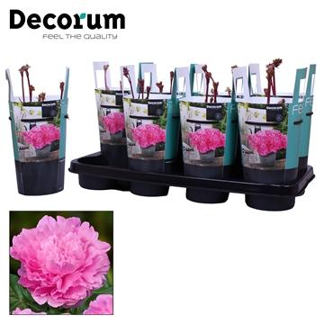 Paeonia 13CM roze Decorum