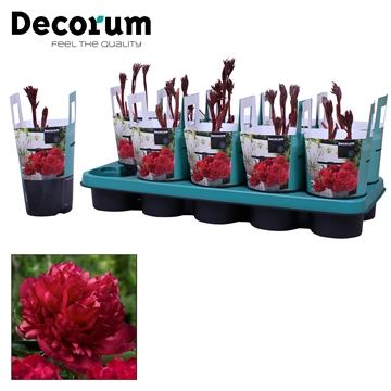 Paeonia 12CM rood Decorum