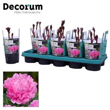 Paeonia 12CM roze Decorum