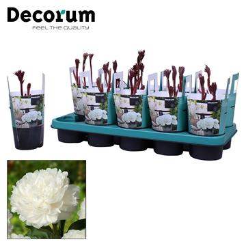 Paeonia 12CM wit Decorum