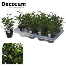Ficus benjamina Natasja (Decorum)