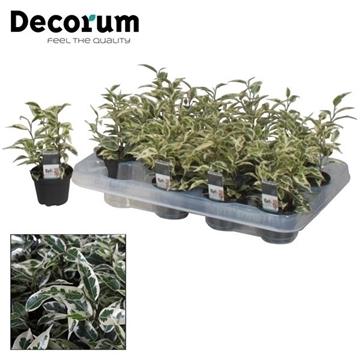 Ficus benjamina Petit Samantha (Decorum)