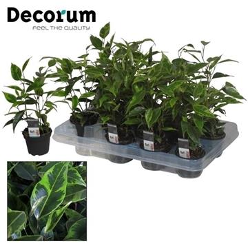 Ficus benjamina Anastasia (Decorum)