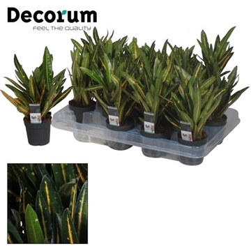 Croton Sunny Star kopstek 7 cm (Decorum)