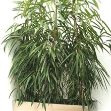 Ficus ali 3 p/m - 40 por bandeja