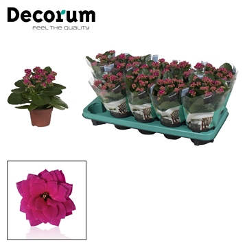 Kalanchoë Decorum - Purple