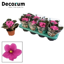 Saintpaulia roze (Decorum)