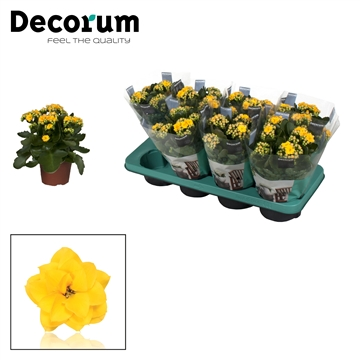 Kalanchoë Decorum- Yellow