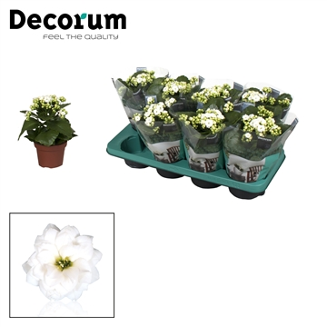 Kalanchoë Decorum - White