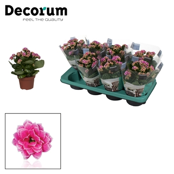 Kalanchoe Decorum - Serenity Purple White