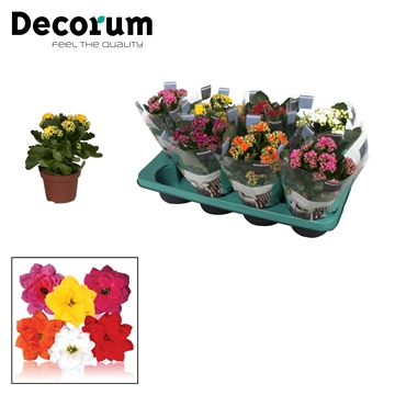 Kalanchoë Decorum - Mix