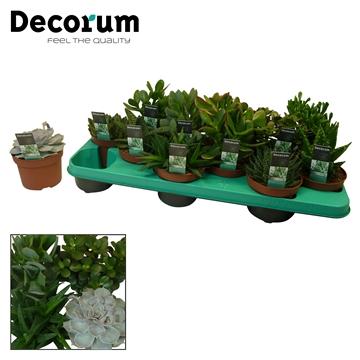 Succulenten mix 12 Soorten