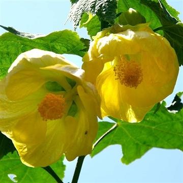 Abutilon aminka yellow