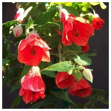 Abutilon patio reddish oostredtrump
