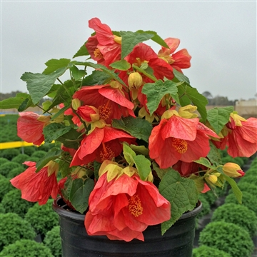 Abutilon patio red