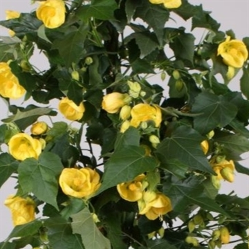 Abutilon patio yellow