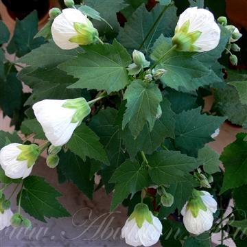 Abutilon white king
