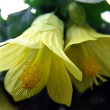 Abutilon megabotanicum yellow trumpet oostredtrump