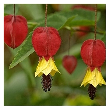 Abutilon megabotanicum lady fista improved