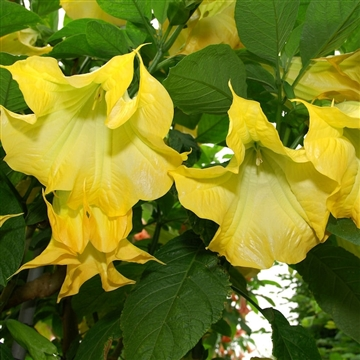 Brugmansia double yellow